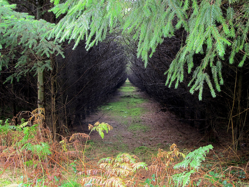 Rows of conifer trees grow so closely that all undergrowth is prevented.
