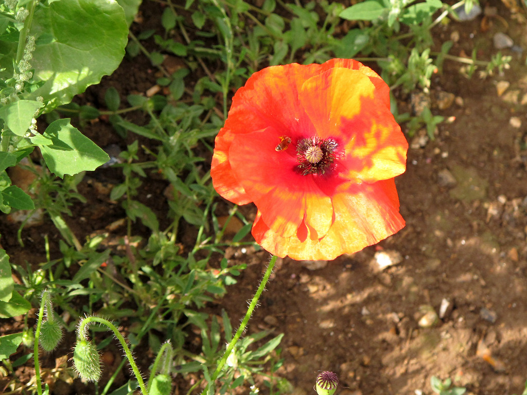 A Poppy with attendant insect.