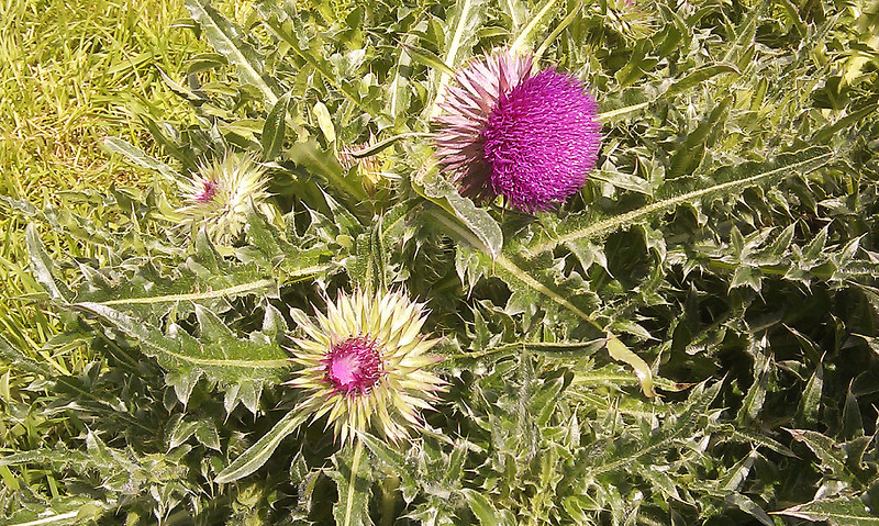 Conditions here are ideal for huge thistles - the larger flower is about 7cms diameter.