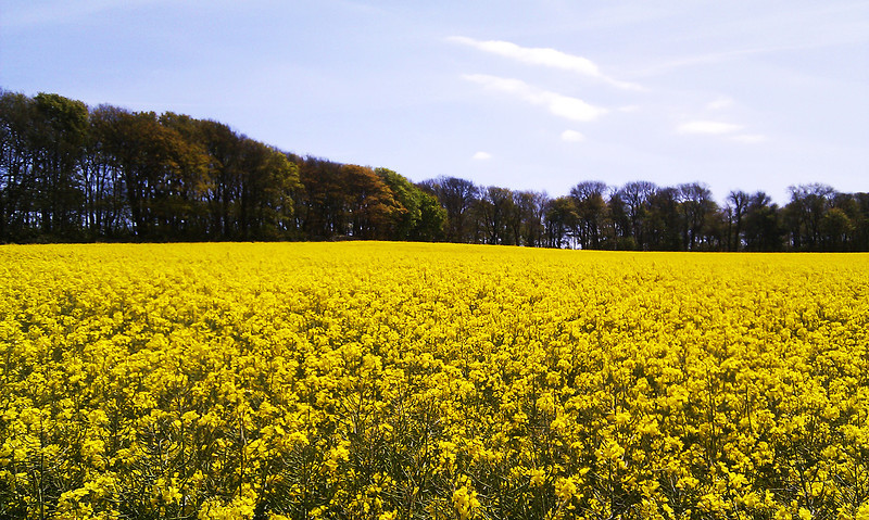 The light breeze wafts the sweet scent of the oil seed rape crop flowering in the fields here.