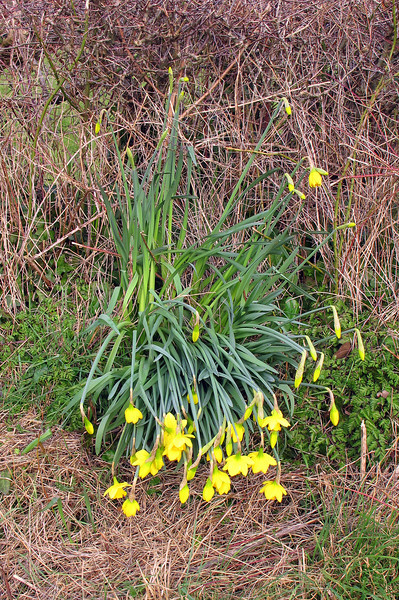 Spring Daffodils beaten down by recent snow, but still doing their best at the side of the bridleway.