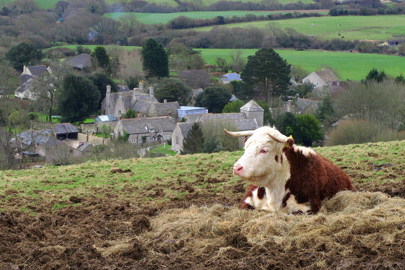 A laid-back Hereford cow on the ridge above Church Knowle.