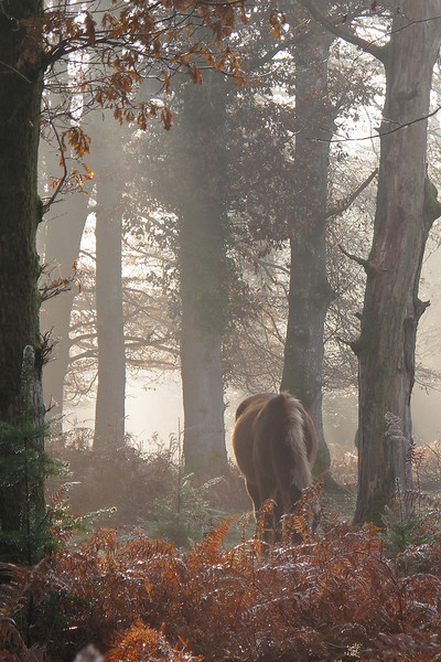 A new Forest Pony grazes in the mist near the morning coffee spot.