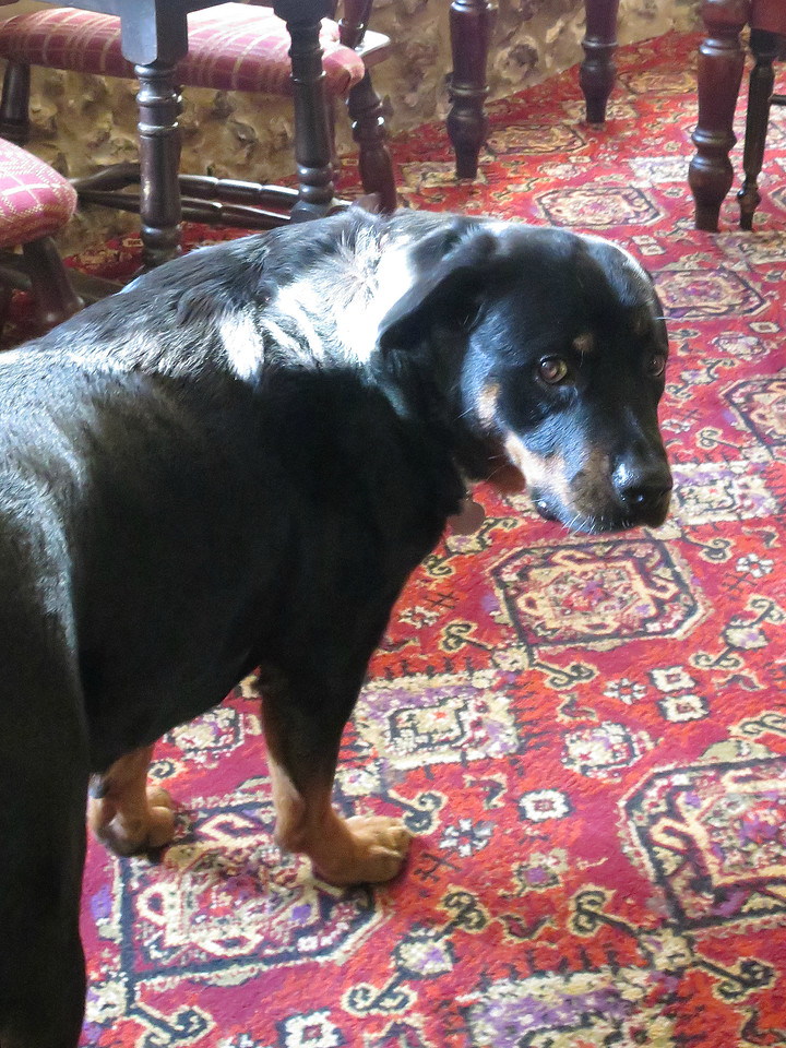 We stopped for a very good lunch washed down with a pint of Ringwood 'Boondoggle' bitter at The Crown at Winterborne Stickland and this lovely Rottweiler called Roxy was resident there, reminding the writer of one of his previous dogs Maggie.