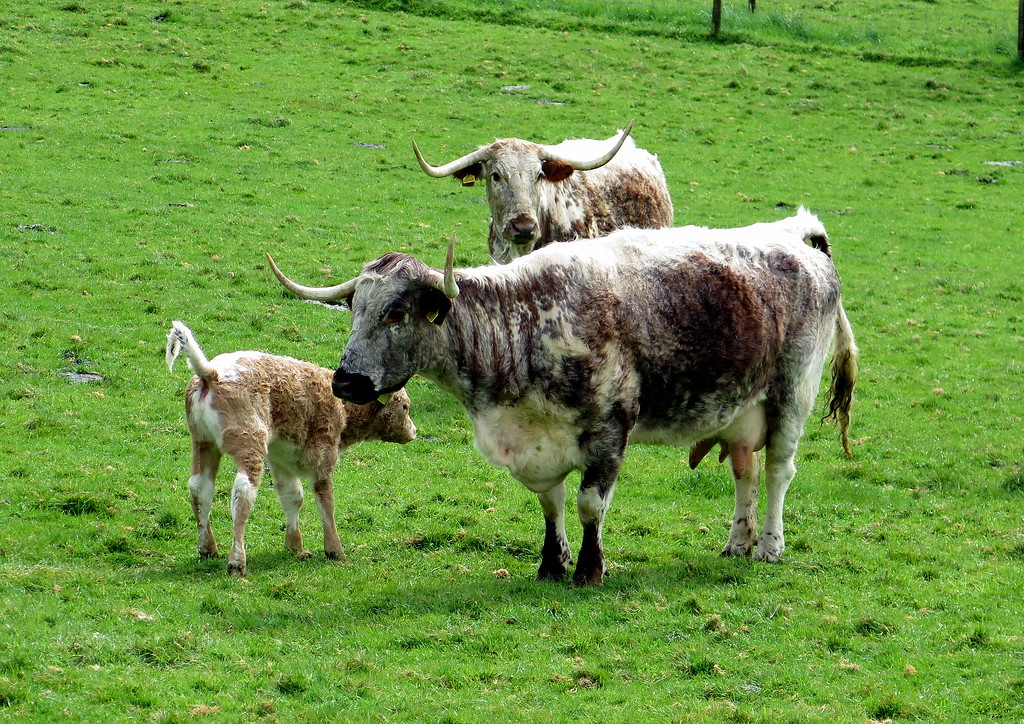 Some striking Longhorn cattle.