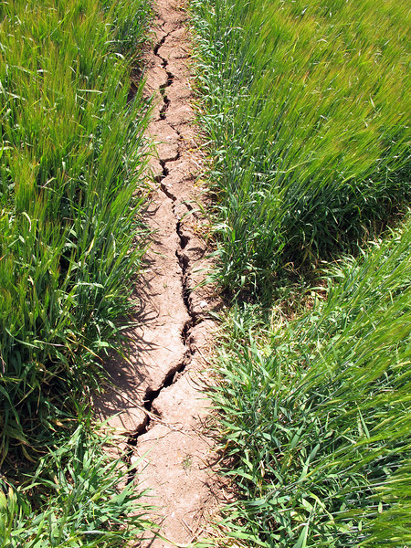 Until a few weeks ago these fields were muddy, but the warm sunny weather has dried it all so now cracks are appearing in the fields of barley.