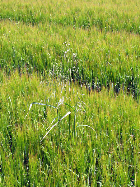 An errant stalk of Oats stands proudly in the barley.