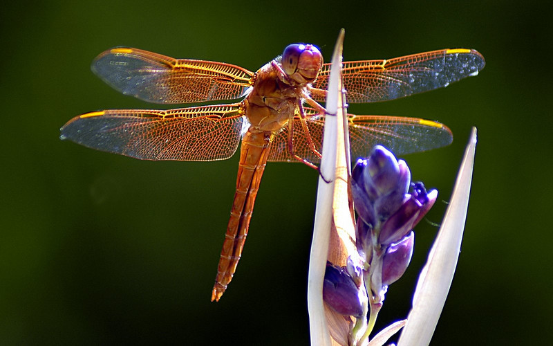 Smiling Dragonfly