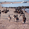 Canada geese waddling their way to the water at Hobart Beach