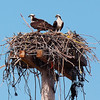 Ospreys in the bird sanctuary at Hobart Beach.  Thank goodness for a long range lens!  These suckers were way up there.