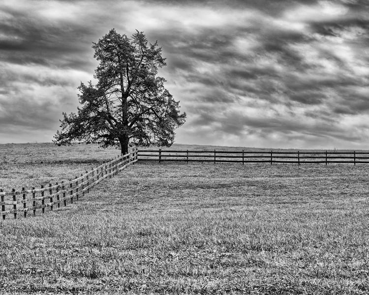 Tree near Edinburg, VA 1