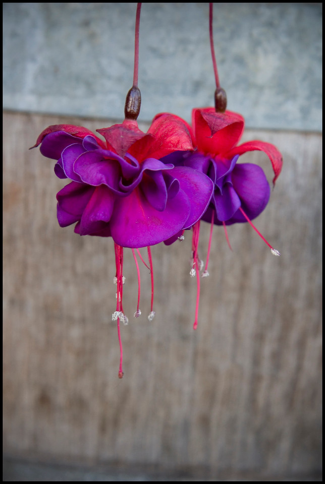 Fuschia Blossoms