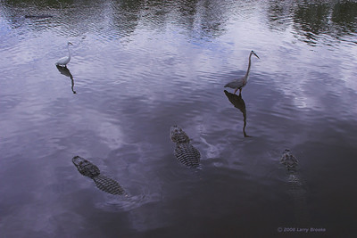 Florida gators take a defensive posture against against those mean old Egrets and Herons!