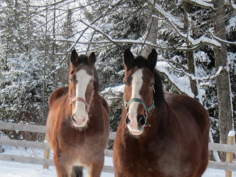 the Budweiser horses??