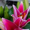 Mepkin Lilies Blooming