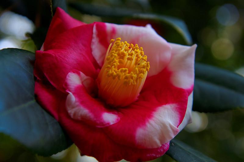 Variegated Camellia