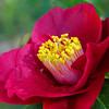 Red Camellia II