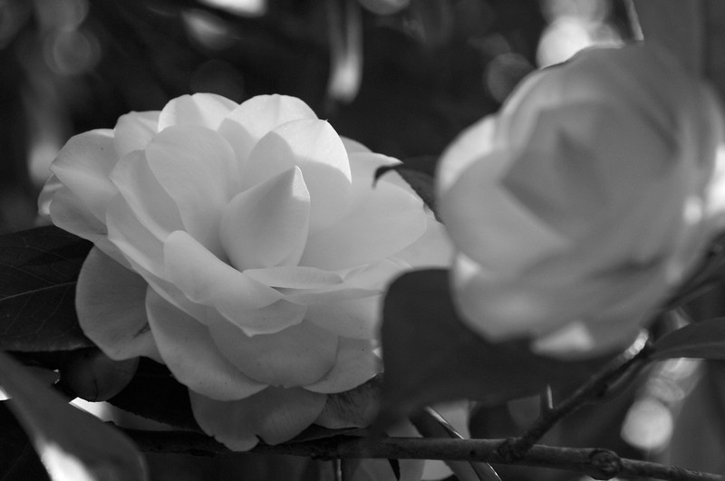 Camellia in Black and White