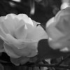 Camellia in Black and White
