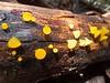 Guepiniopsis alpinus, or golden jelly cone.
