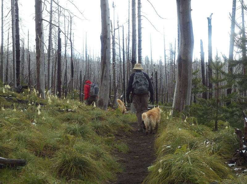 Gary and Boomer, Phil and Tucker and I hiked south from the Santiam Pass, through the standing dead trees left by a forest fire.  The beargrass was all droopy!  Prolongued freezing temperaturese killed  the blossoms.