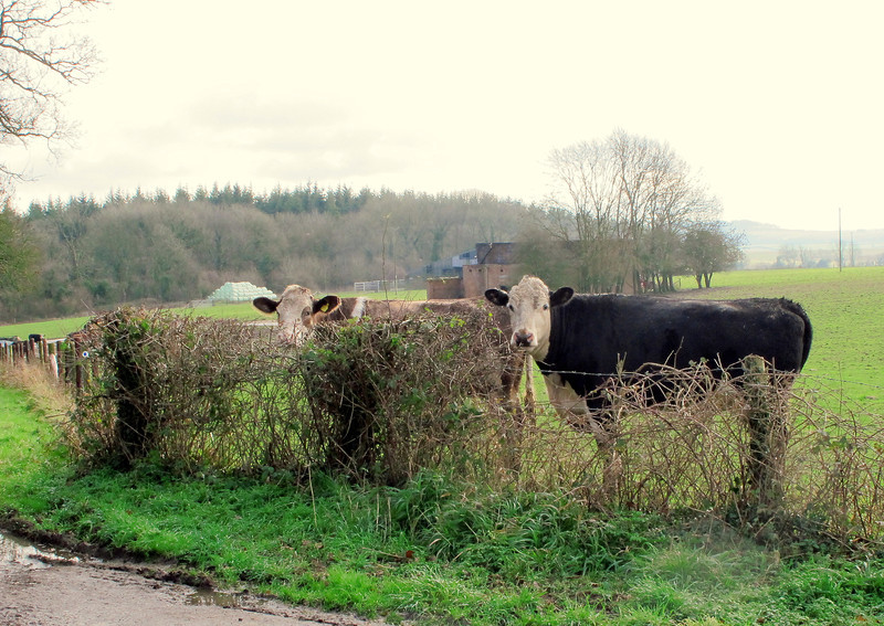 Two cows sagely take in the proceedings.