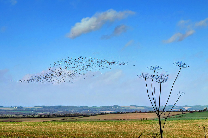 A flock of what looked like Lapwings above fields on Crichel Down.   Some Starlings had been flying with them but wheeled away before this photo was taken.