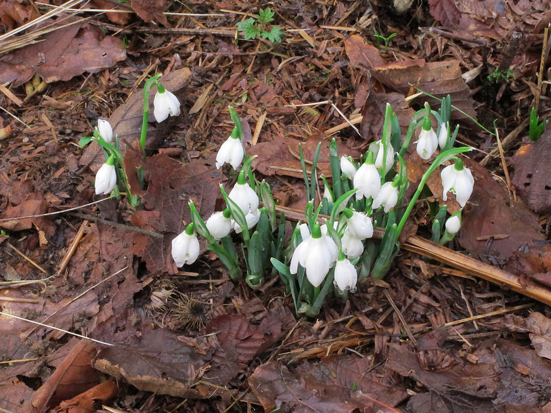 Snow drops pushing up through the leaf litter - a sure sign that spring is on the way!