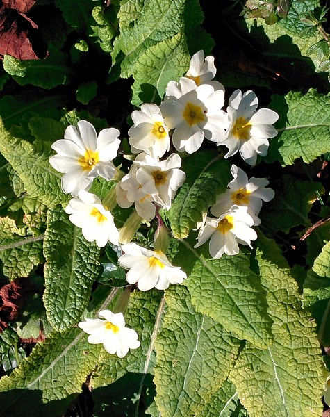 Lovely primroses bloom in the hedge.