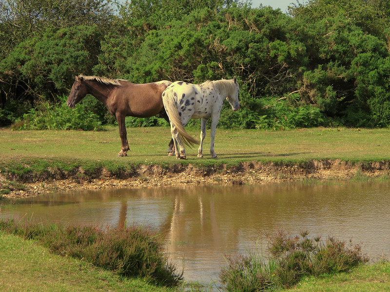 Two more ponies nearby at the same pond, each with signs of Pinto in their ancestry.