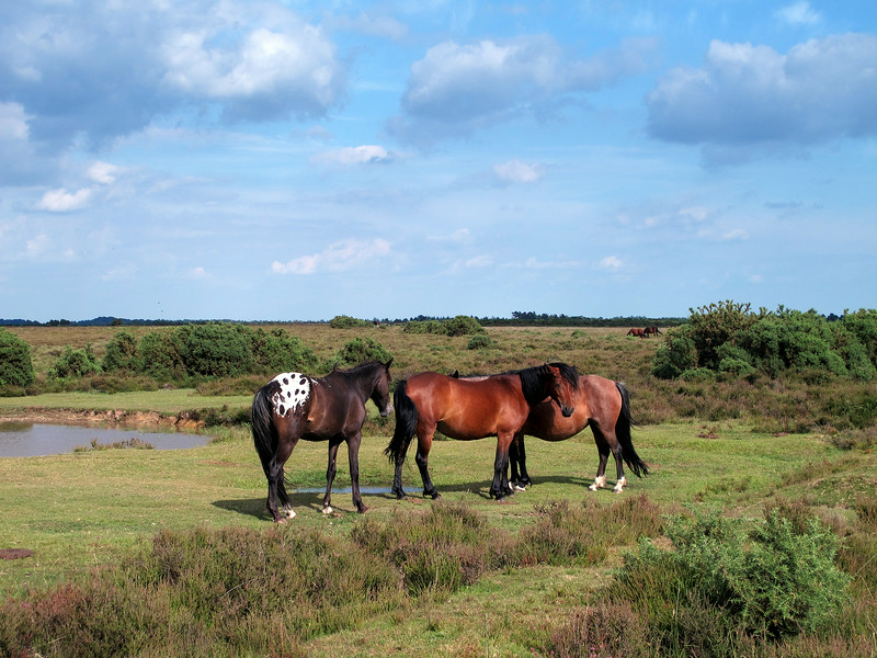 A group of ponies , one with a splendid spotted white rump.