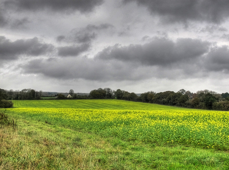 A second sowing of oil seed rape comes into flower - normally seen in march or April.