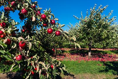 1  RobertEvans com Door County Wisconsin Apples _DSC4871