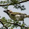 Black-throated barbet