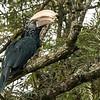 Silvery cheeked hornbill