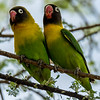 Yellow Collared Love Birds