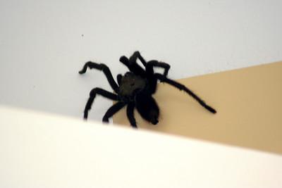 8/12/07 Tarantula (Aphonopelmus reversum). In garage @Kyle Court property, La Cresta, Murrieta, SW Riverside County,