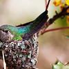 Hummingbird on nest at the Palisades Ranger Station