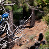 """""""Steller's Jay""""<br /> <br /> Outside the Lemmon Rock fire lookout<br /> <br /> August 2014"""