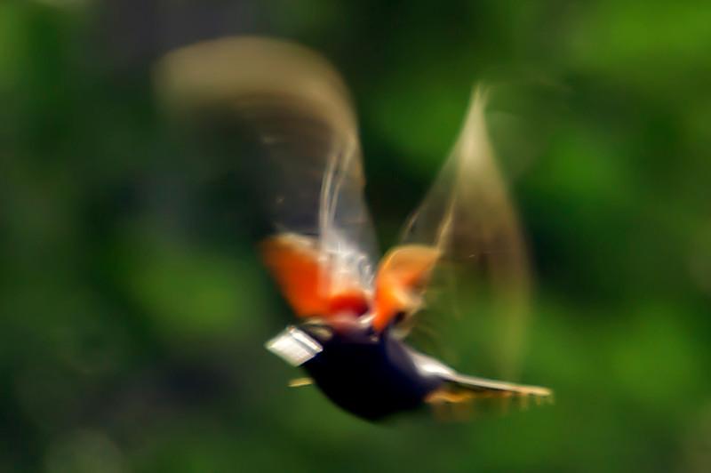 RED- WINGED BALCKBIRD <br /> IMAGE 2