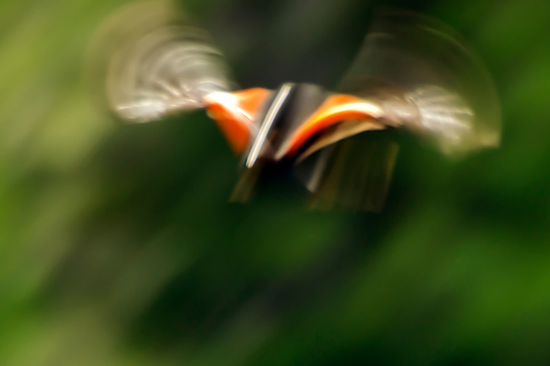 RED- WINGED BLACKBIRD<br /> IMAGE 3