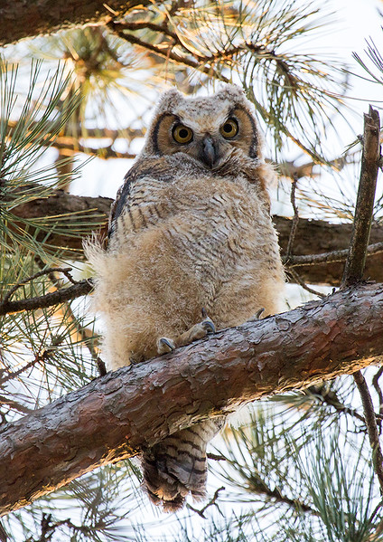 Owlet at Forest Park