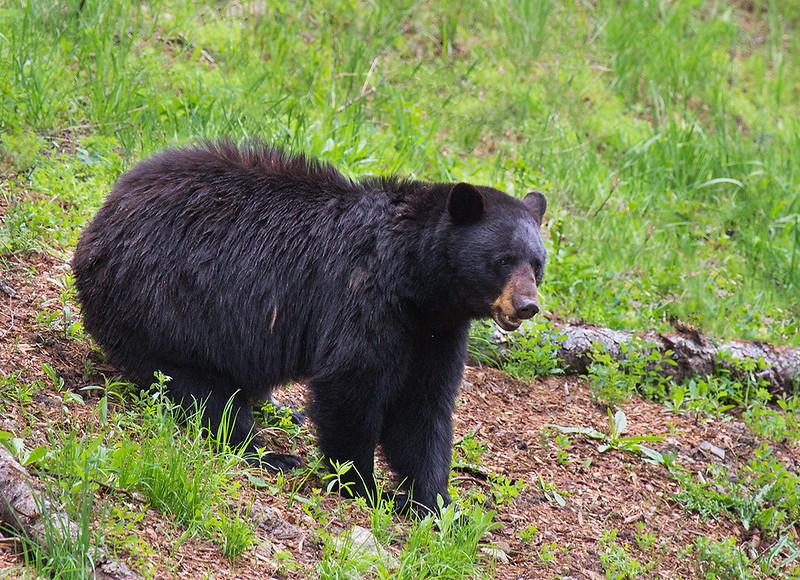 Black Bear at Yellowstone