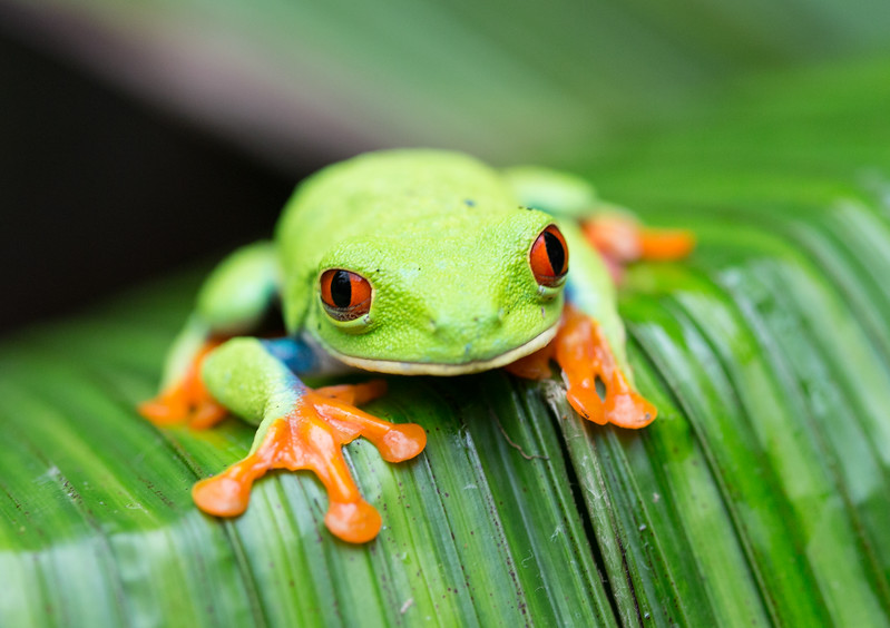 Red eye tree frog Costa RIca