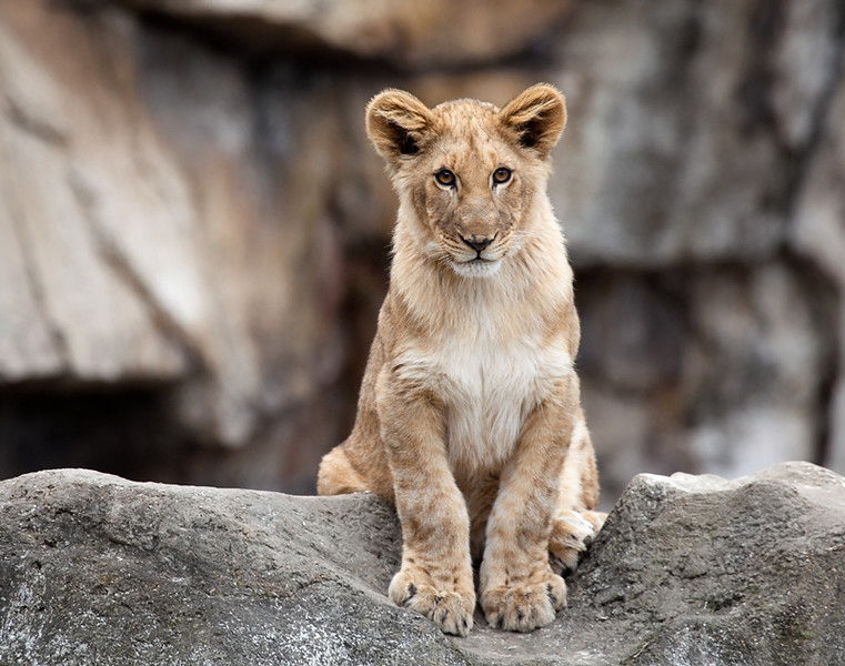 Lion Cub, St. Louis Zoo
