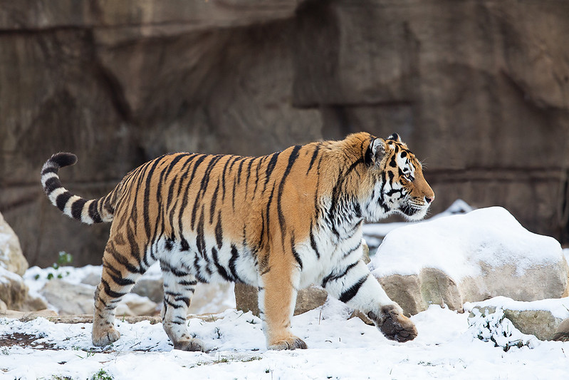 Siberian tigers are right at home in the snow.