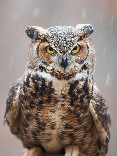 World Bird Sanctuary, great horned owl in snow