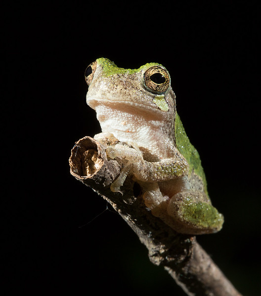 Gray tree frog, taken at night