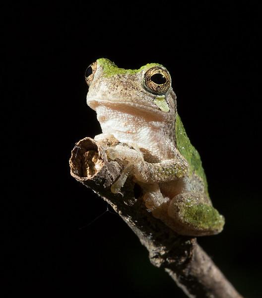Gray tree frog, taken at night