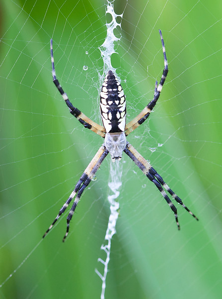 Argiope Spider patiently waits for prey.
